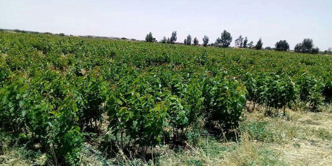 زراعة السويداء تنفذ خطة لإنتاج 231 ألف غرسة أشجار مثمرة للموسم القادم